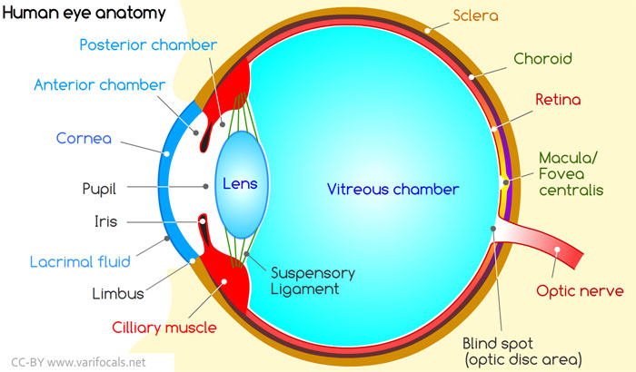 Human Eye: Anatomy, Structure and Function