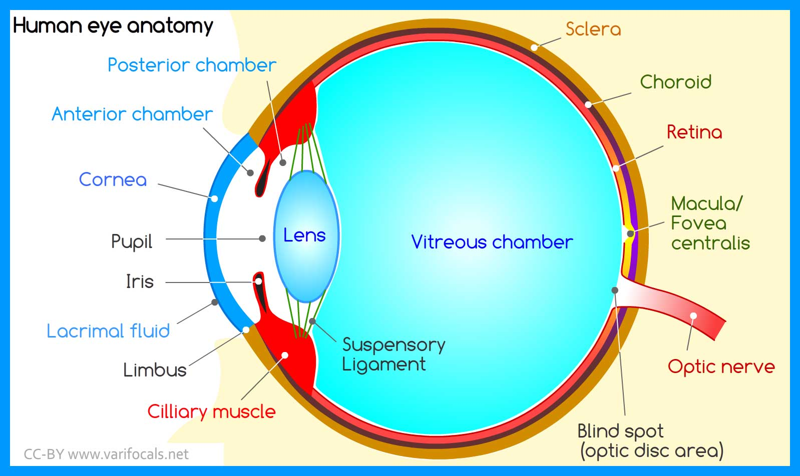 Diagram Of Human Eye | Human Eye Anatomy Structure And Function